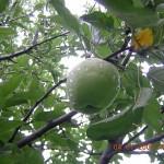 Apple Farming in Kasauli