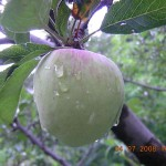 Apple orchard in Kasauli