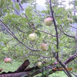 Apples Blossoming in Kasauli