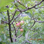 Apples in Kasauli orchard
