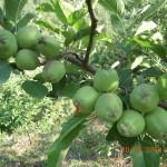 Apples tree Kasauli