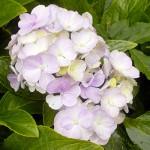 Best Flower of Kasauli - Hydrangea