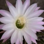 Cactus Flower in Kasauli