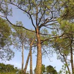 Chir-Pine trees in Kasauli