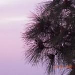Chirpine Needles Kasauli