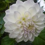 Flower variety - 1