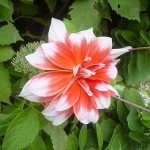 Flower variety - 2