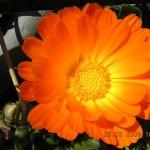 Flower variety - 3