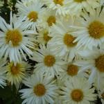 Flower variety - 7