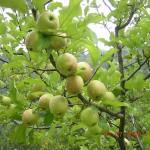 Fresh ripe apples on tree in Kasauli
