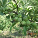 Green Apples Kasauli