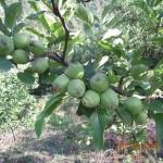 Green Apples in Kasauli