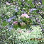 Kasauli Juicy apples tree
