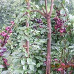 Kasauli Plum Farming