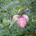 Kasauli apples
