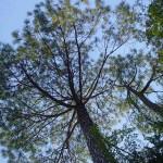 Pine tree Kasauli