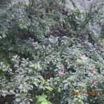 Plum tree Kasauli