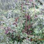 Plums in Kasauli
