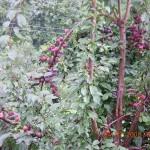 Plums on Tree in Kasauli