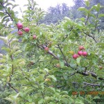 Red apples ready to eat in Kasauli orchard