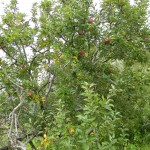 Red apples tree