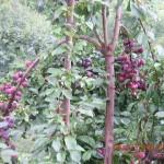Red ripe plums in Kasauli