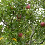 Santa Roza Apples Kasauli