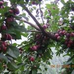 Santa Roza Plum tree in Kasauli