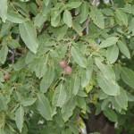 Walnut Tree with Half Ripe Walnuts