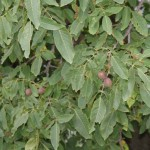 Walnut tree in Kasauli