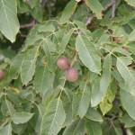 Walnuts growing in Kasauli