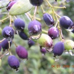 Wild tasty berries Kasauli - Rasaunt