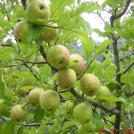 Yummy apples ready to pluck and eat in Kasauli